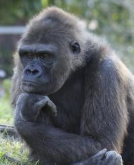 Un gorila pensativo
